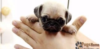 teacup pug puppies for sale
