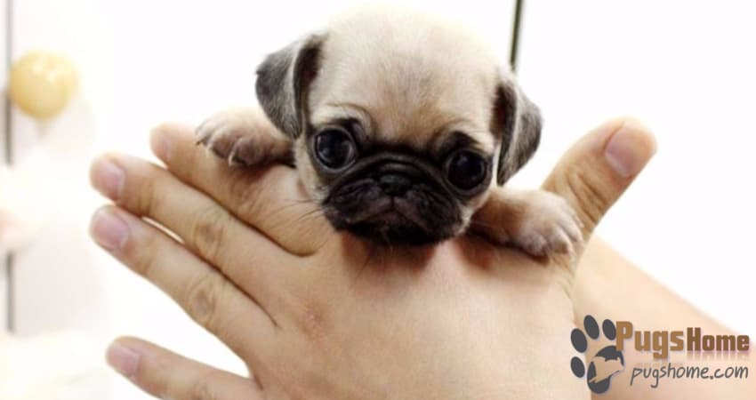 teacup pug puppy the guide to buying teacup pugs for sale tips 1666