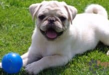 white pug puppies for sale