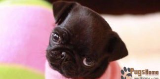 Pug Puppies For Sale In CT