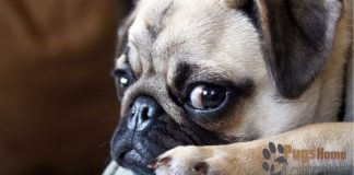 Pug Puppies For Sale In Los Angeles