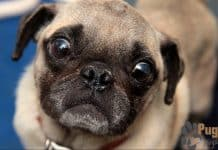 Pug Puppies For Sale In Alabama