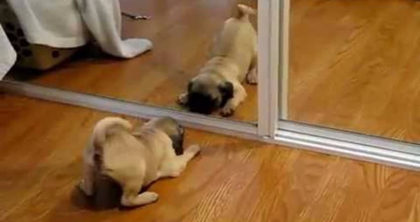 pug in the mirror