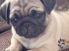 pug puppies for sale in az