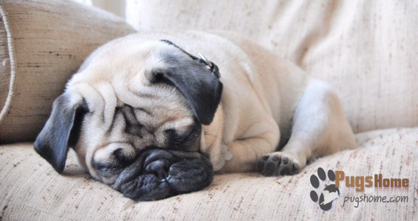 pug puppies for sale in ma