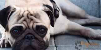 pug rescue in seattle