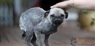 pug rescue pa