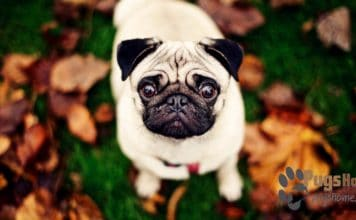 pug breeders in wisconsin the cutest pugs in the world pugs home 7927