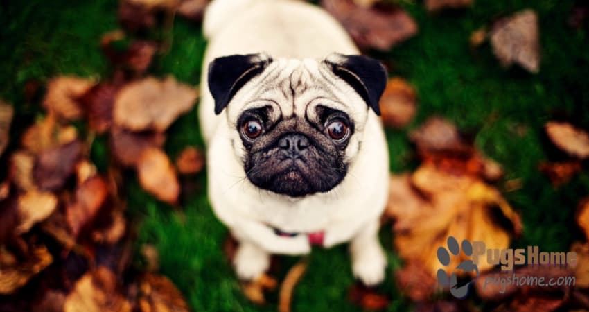 pug_puppy_for_sale_in_wisconsin