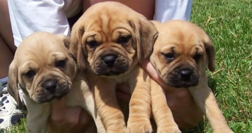 Pug Puppies For Sale In Kansas Information