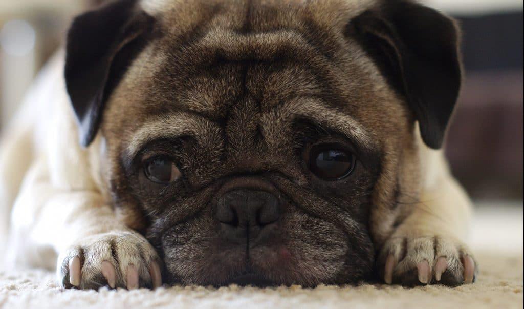 Canine Cute Dog Puppy Brown Close Up Pug Pet