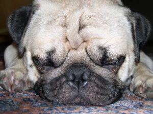 Pug Head Cute Lap Dog Face Dog Purebred Dog Pet