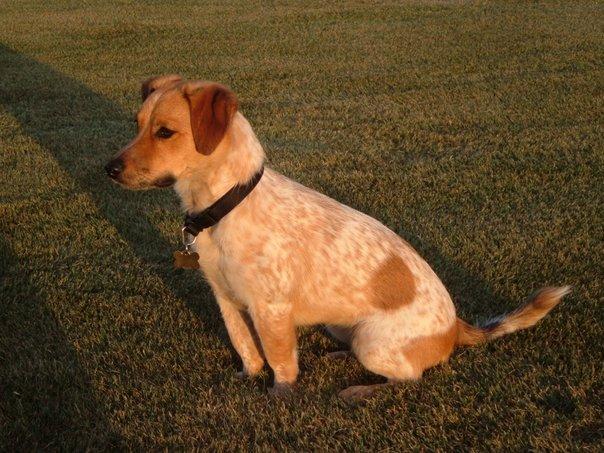 Heeler Jack Russell Terrier Mix