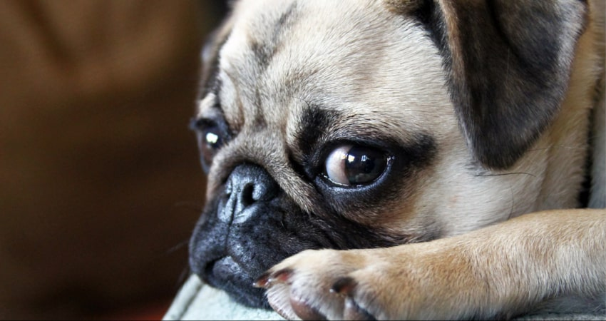looking pug
