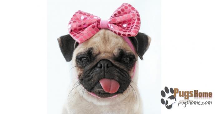 female pug