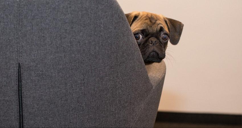 hiding pug