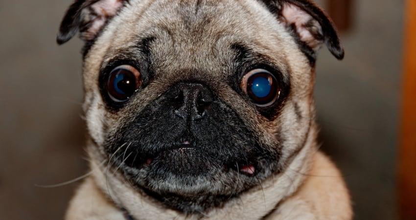 afraid pug