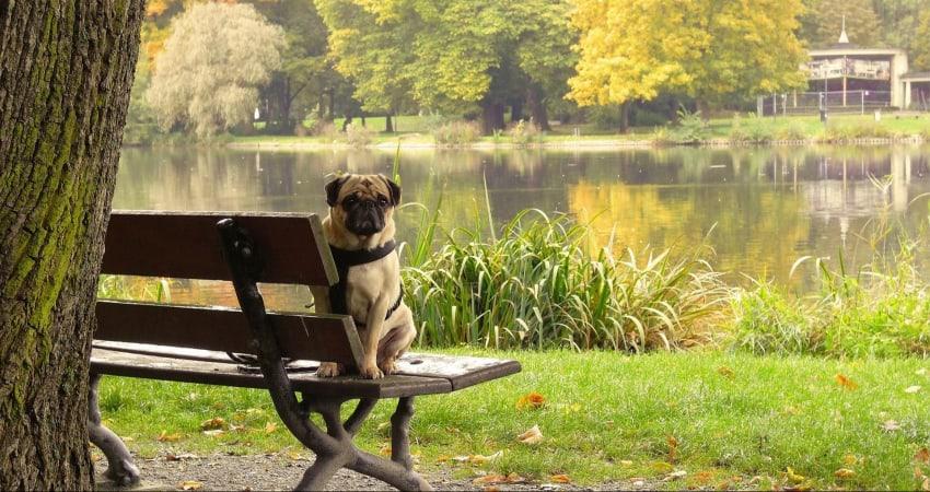 bench sitting pug