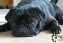 featured image black pug