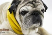 featured image pug