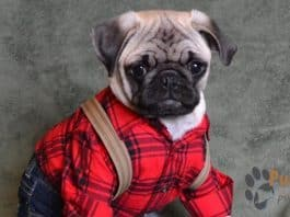 featured image of pug