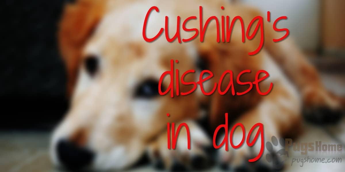 Cushing's disease in dog