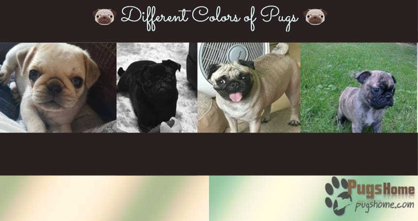 Different Colors of Pugs