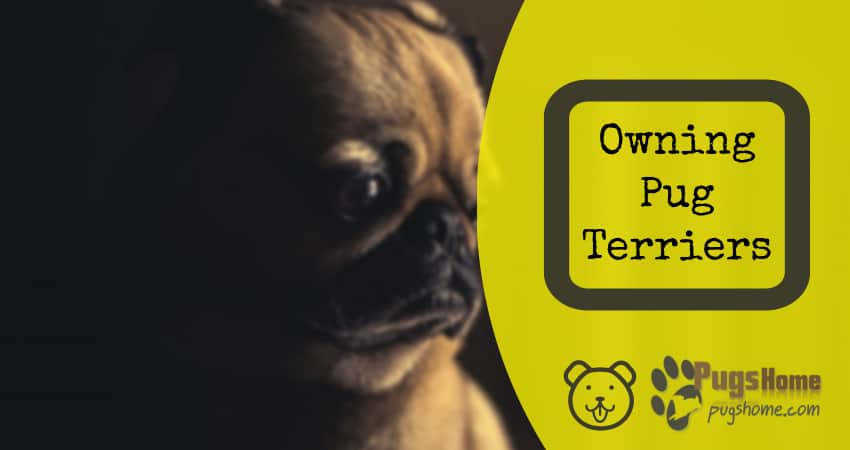 Owning Pug Terriers