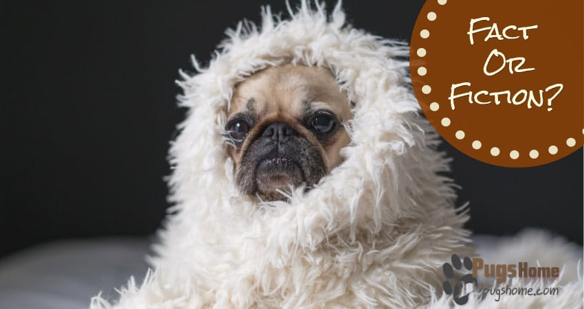 The Long Haired Pug Fact Or Fiction