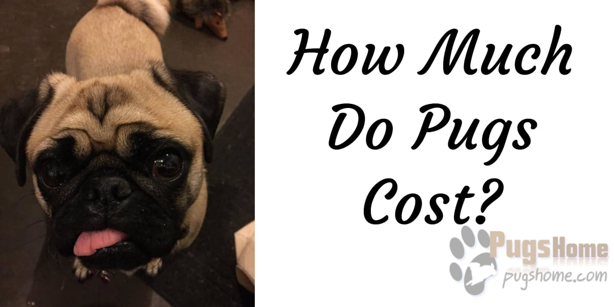 How much do pugs cost on average? Pug Dog Price Information