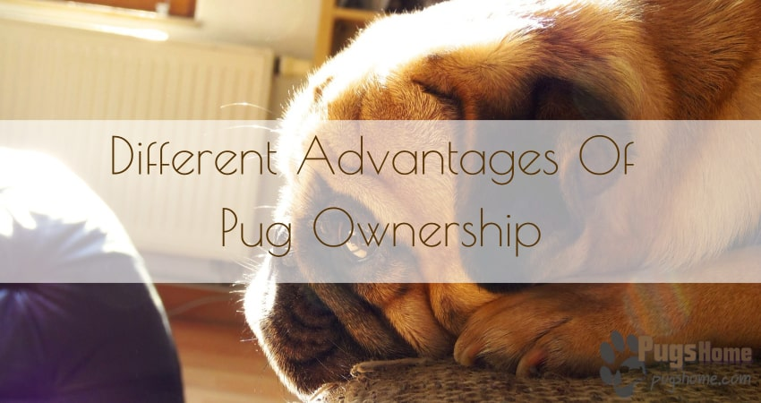 different advantages of pug ownership