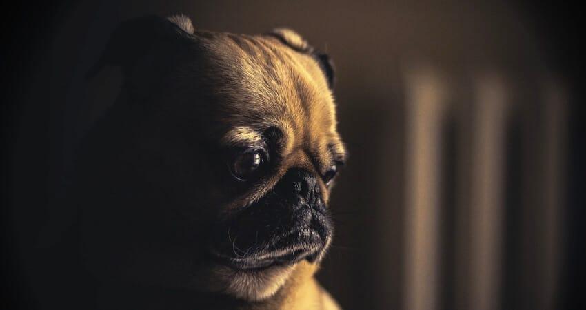 dry eyes pug