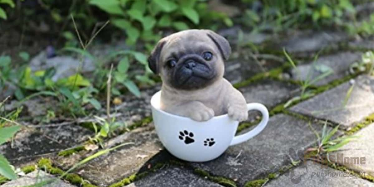 what is the lifespan of a pug about the teacup pug life span 7483