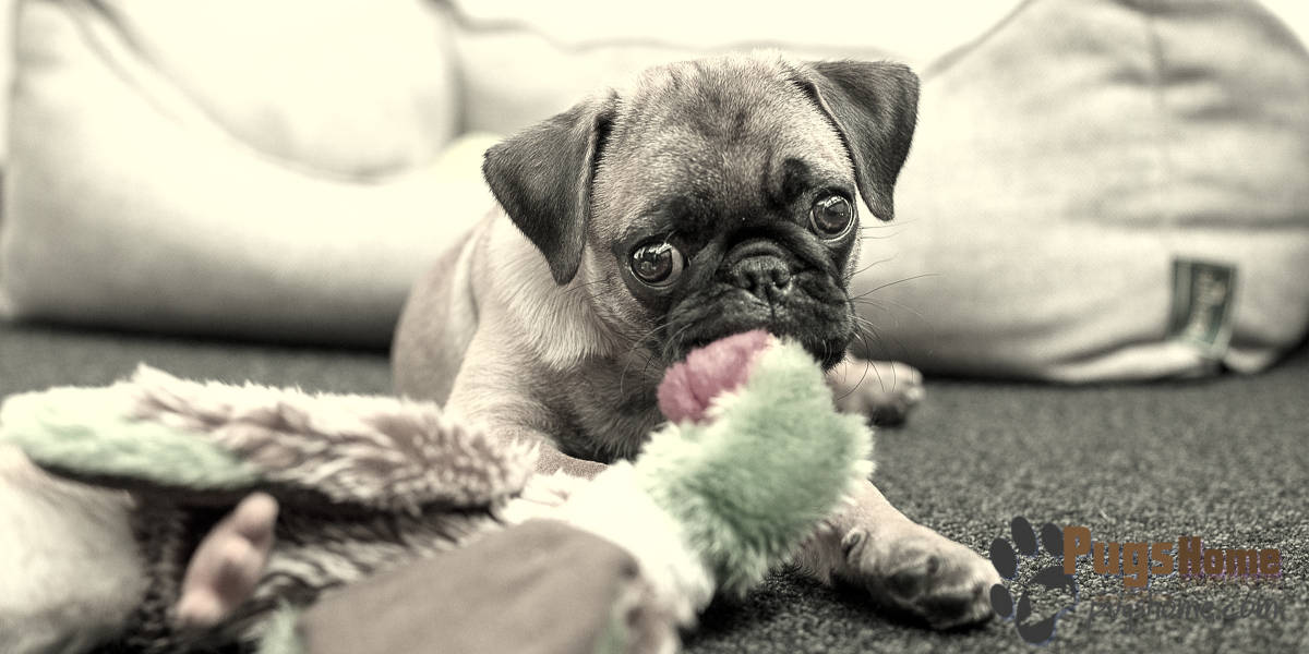 what is the lifespan of a pug about the teacup pug life span 5877
