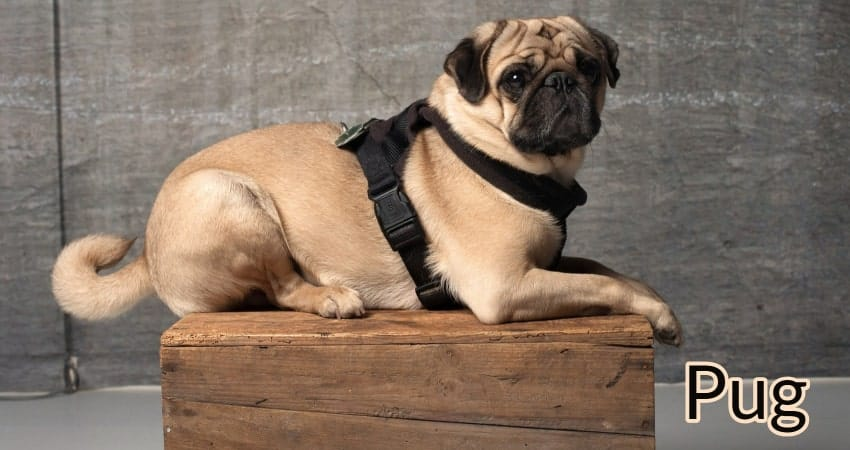 Pug with harness