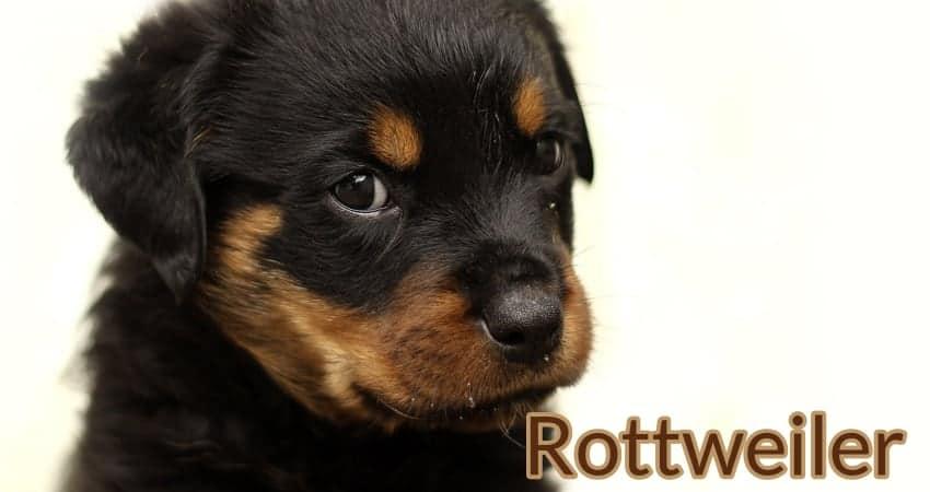The Pug Rottweiler Mix