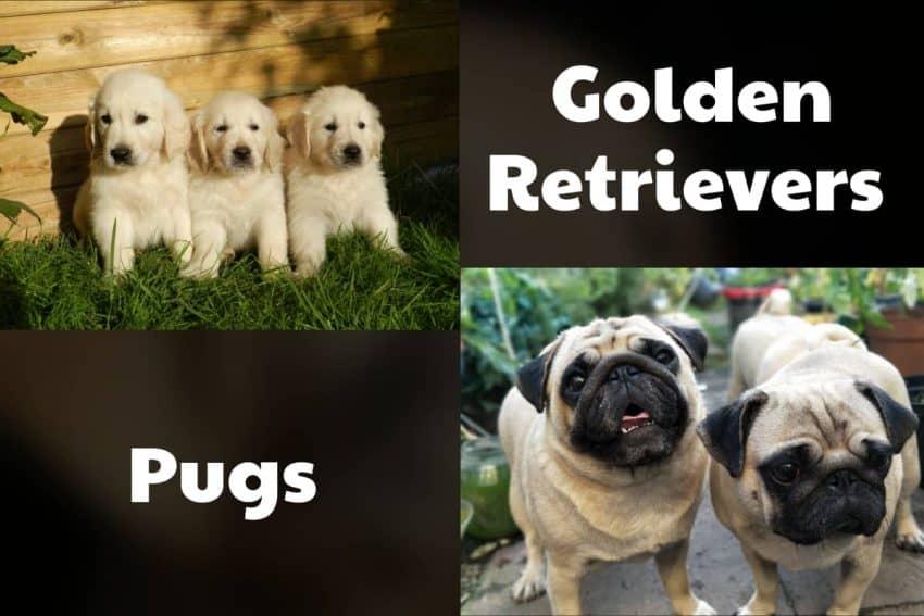 golden retrievers and pugs