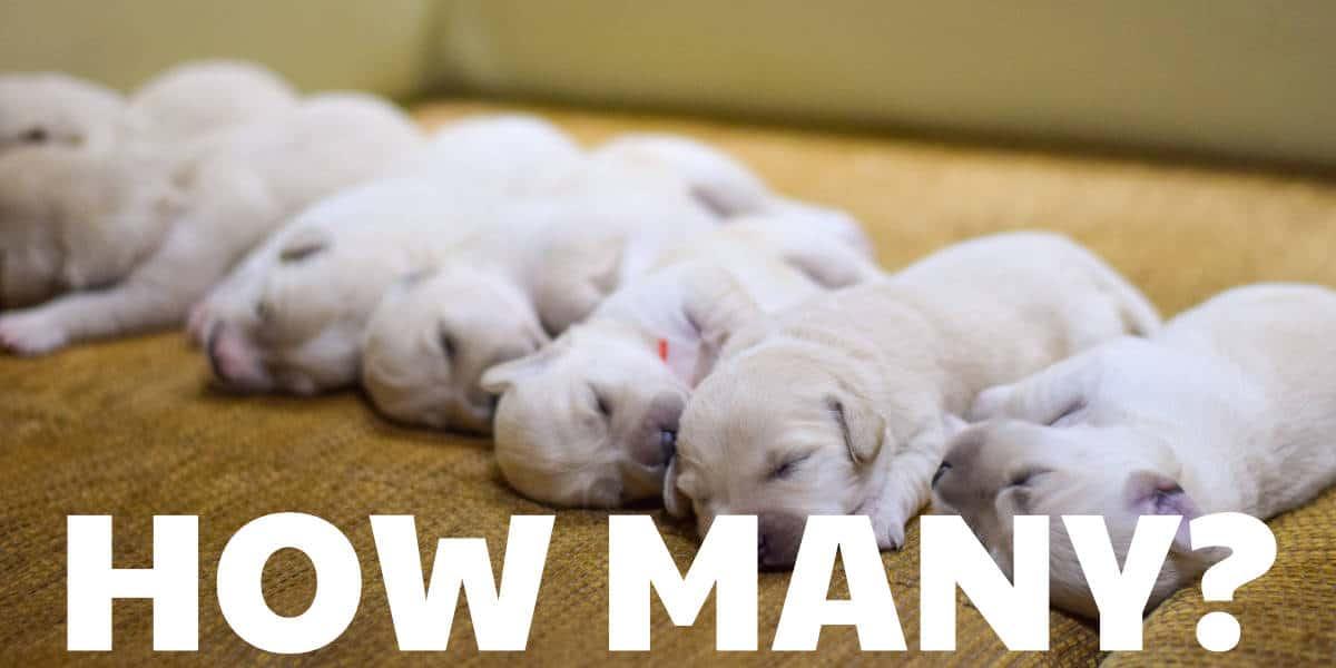 how many chihuahua pug mixes