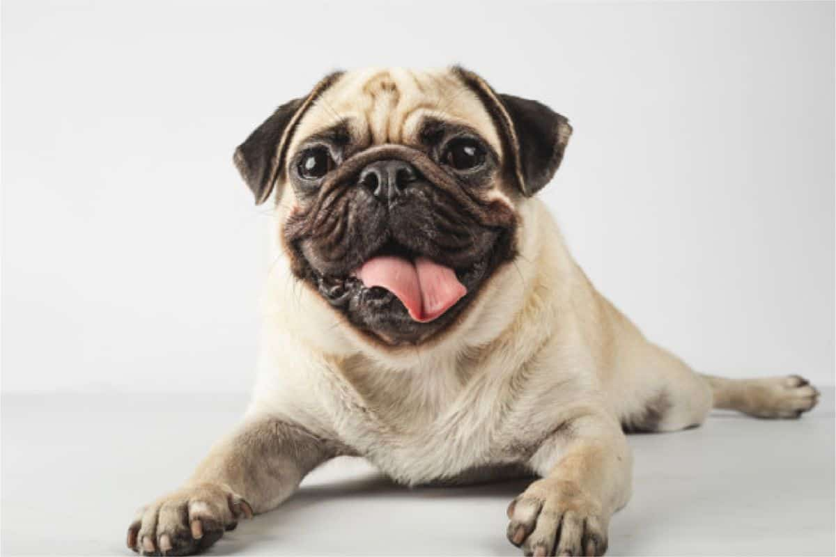 7 Most Gorgeous Pug Mixes