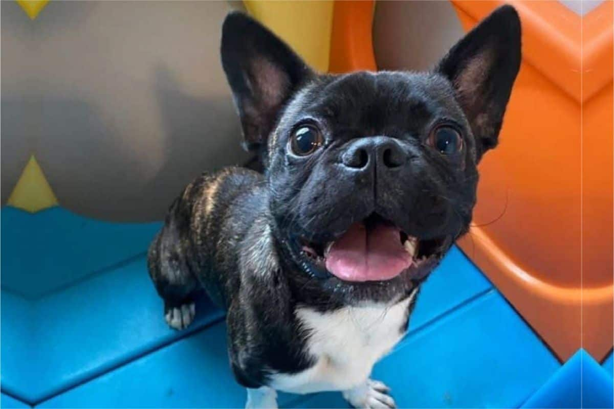 A Beginner's Guide To Caring For A Pugston Terrier