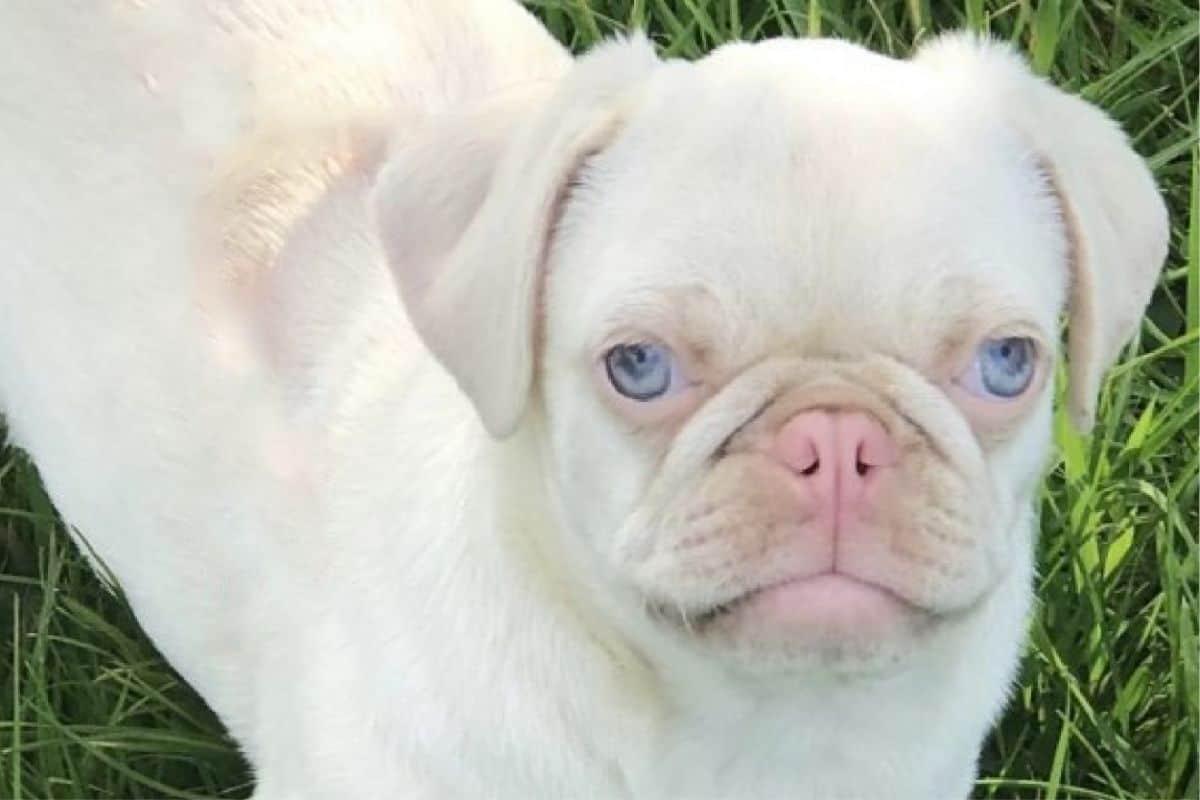 Albino Pugs