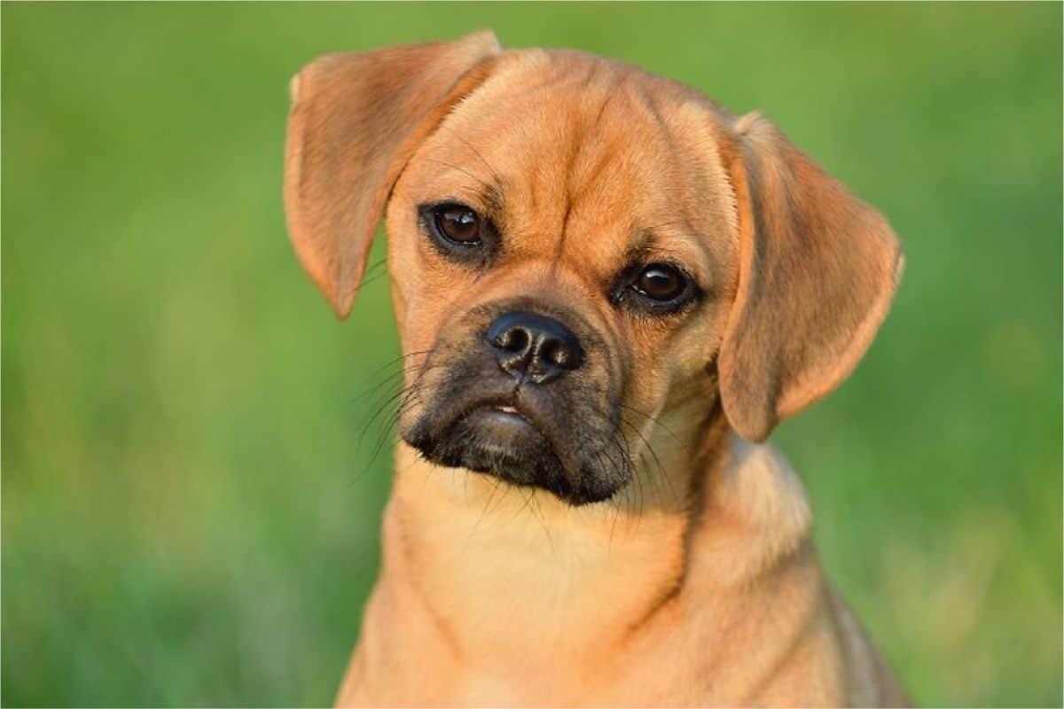 Beagle Pug Mix