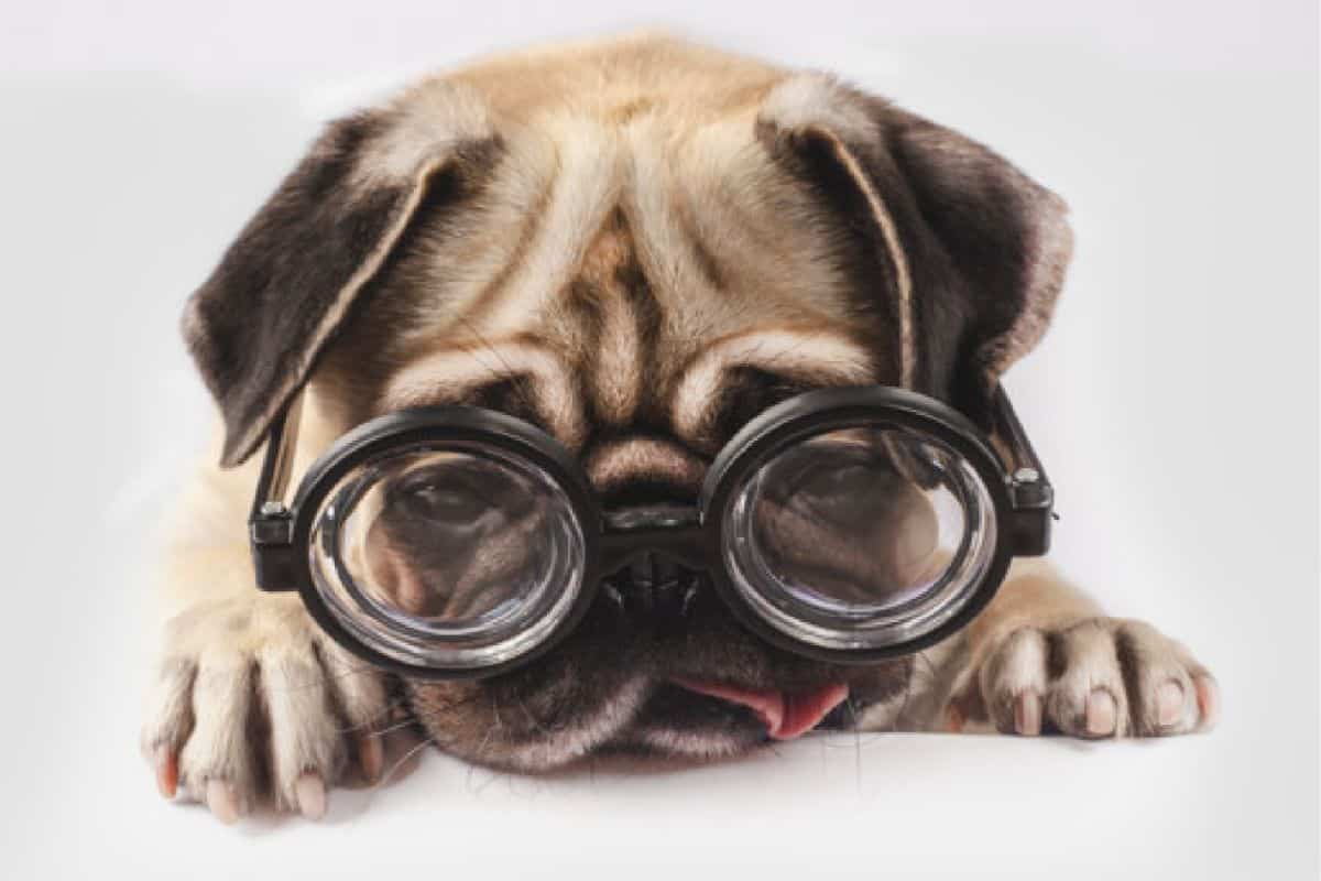 Few Ways To Increase Your Pugs Life Expectancy