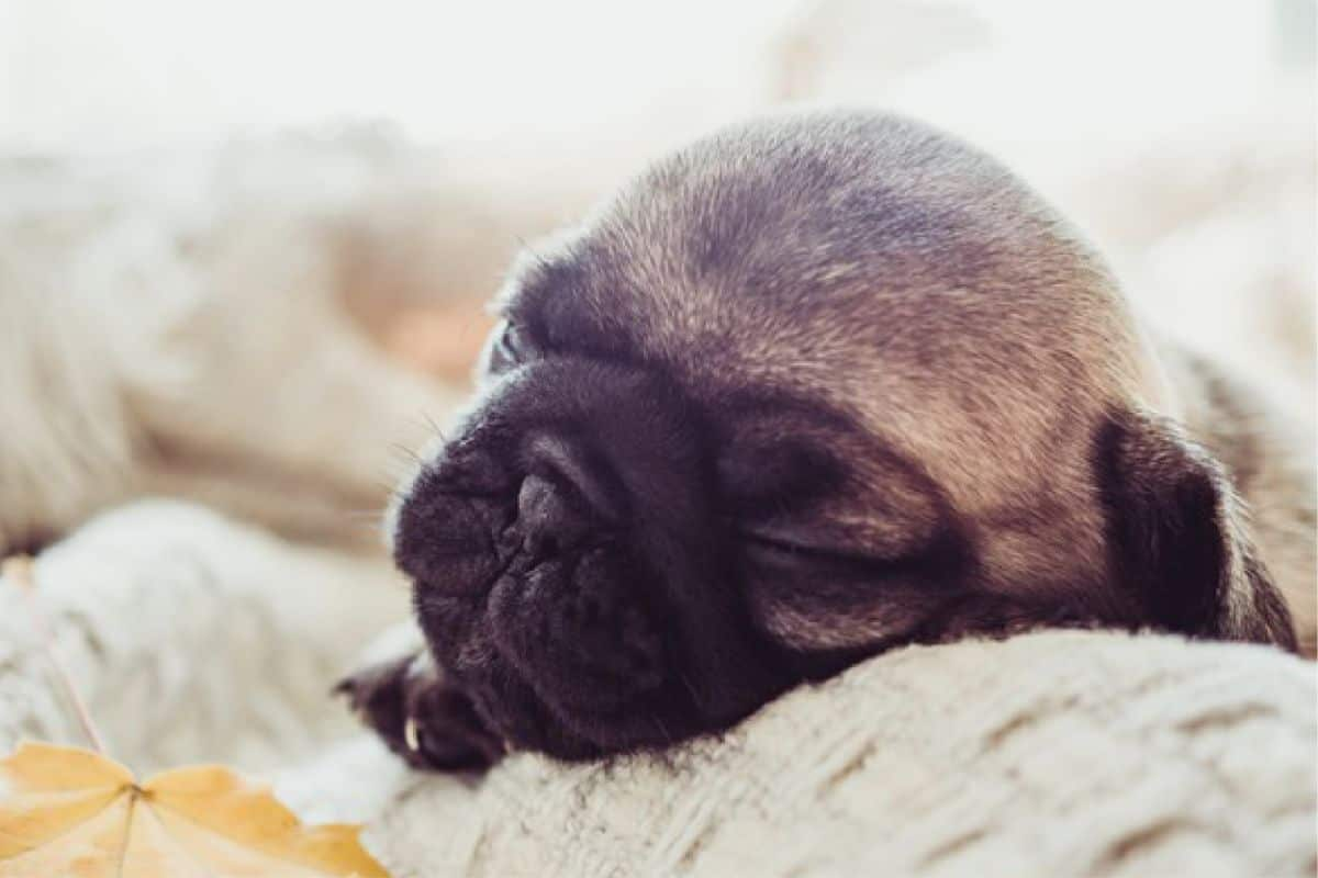How to euthanize a dog with sleeping pills