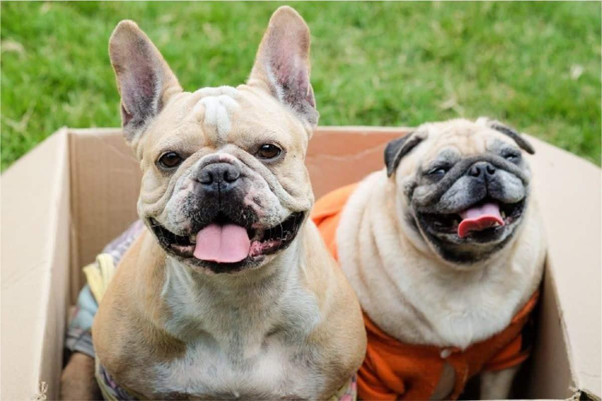 Pug Bulldog Mix
