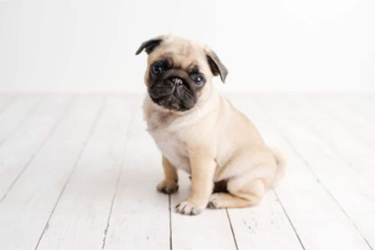 Pug Puppies For Sale In Colorado