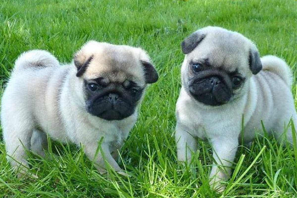 Pug Puppies For Sale In Texas