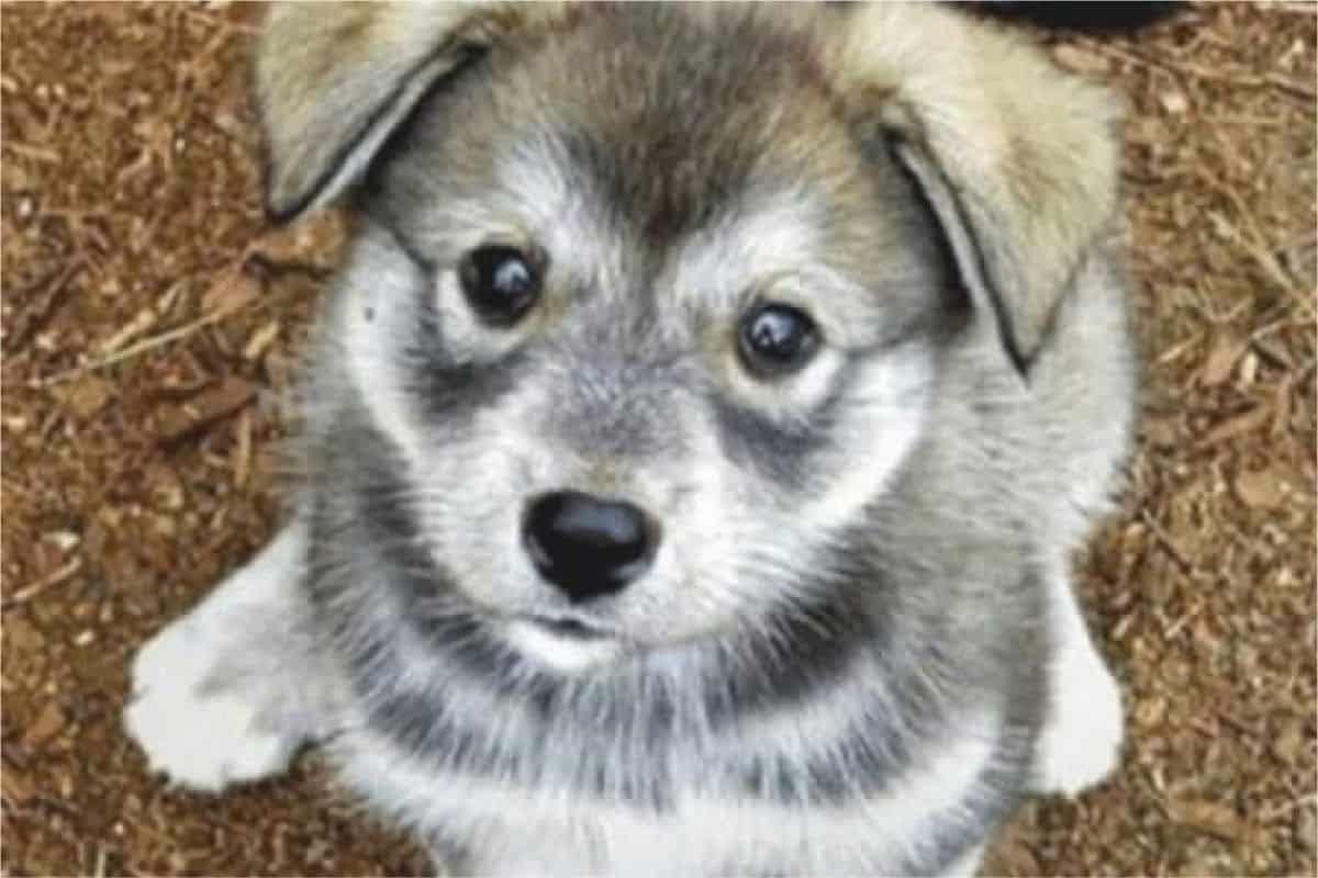 The Husky Pug Mix