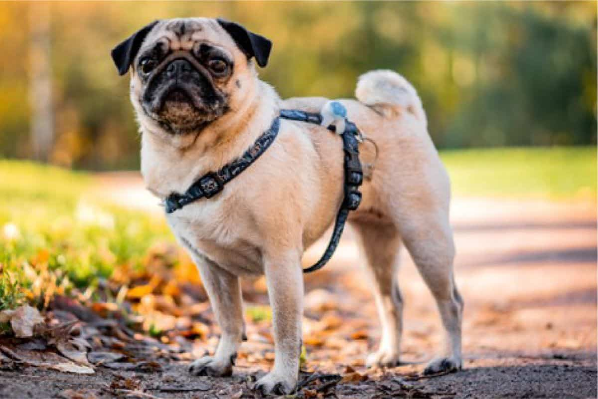 What Are The Best Pug Names