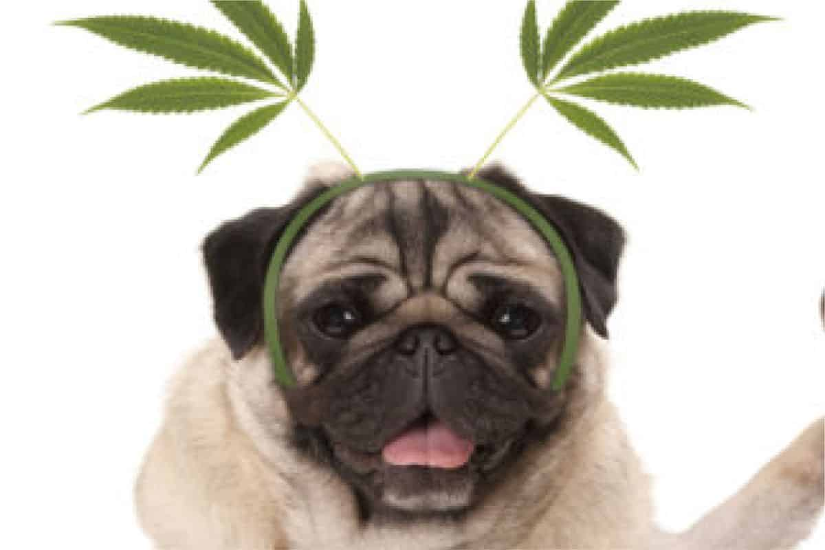 Why CBD For Dogs Is Becoming More Popular With Pet Owners